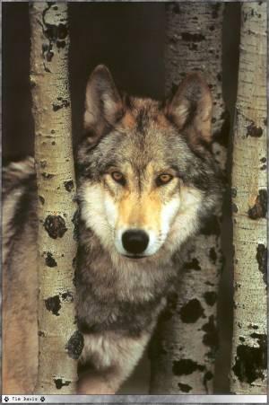 Les loups...... Loups_12