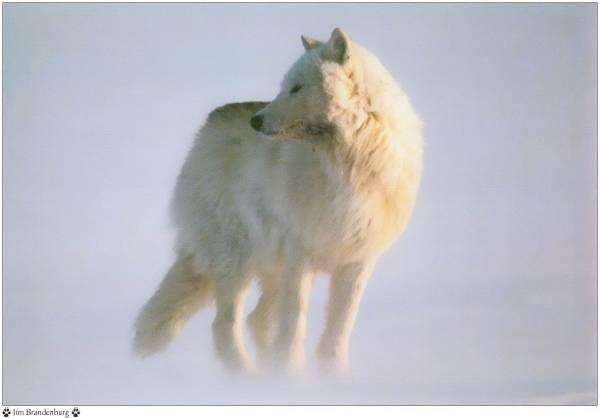 Les loups...... Loups_15