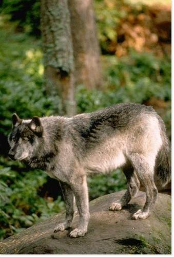 Les loups...... Rz_ani10