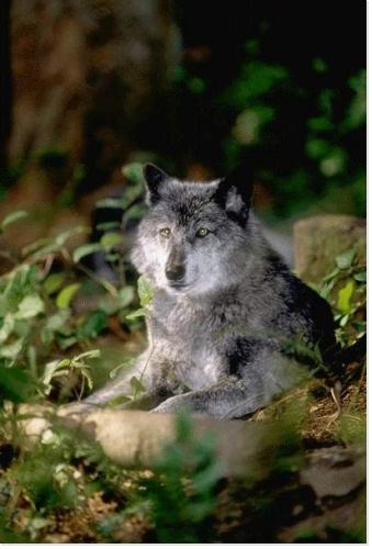 Les loups...... Rz_ani11