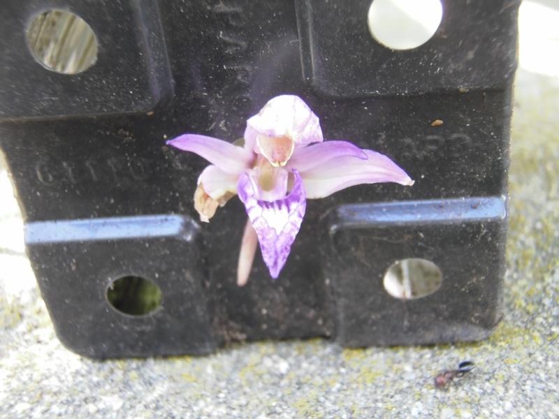 Les Orchidées sauvages P5090014