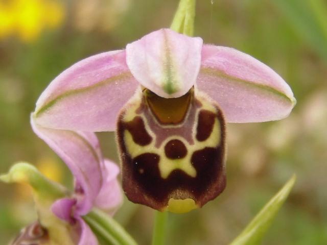Les Orchidées sauvages P5130015