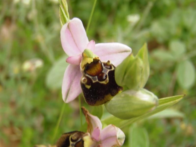 Les Orchidées sauvages P5130018