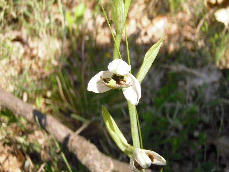 Les Orchidées sauvages P5190010