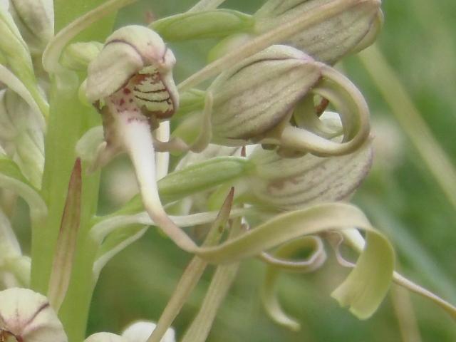 Les Orchidées sauvages P6010011