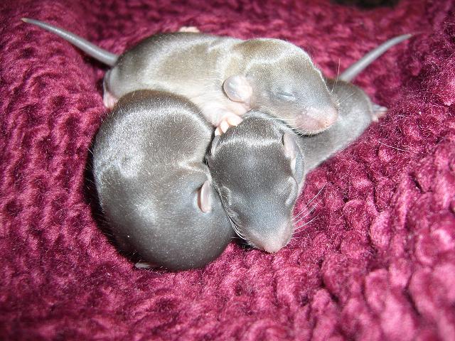 bébé rat a adopter !! marseille Bout_d10