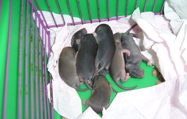 bébé rat a adopter !! marseille Groupe10