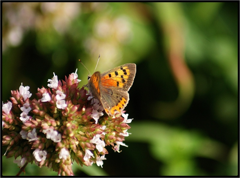 fil à papillon - Page 2 Nouvea11