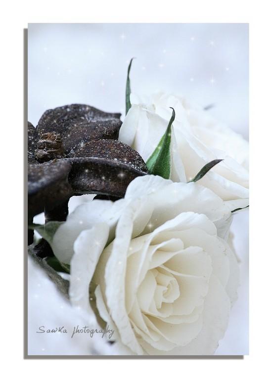 Rose de Noël Roses_21