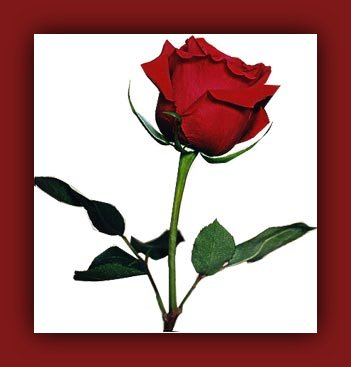 THE AMAZING MRS HOLLIDAY Rose0010