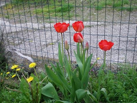 Le foto di Luisa - Pagina 2 Tulip_10