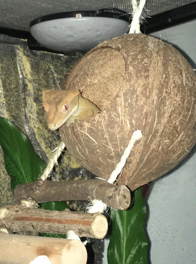 Presentation de Biscotte, notre petit gecko à crête 4a50c310