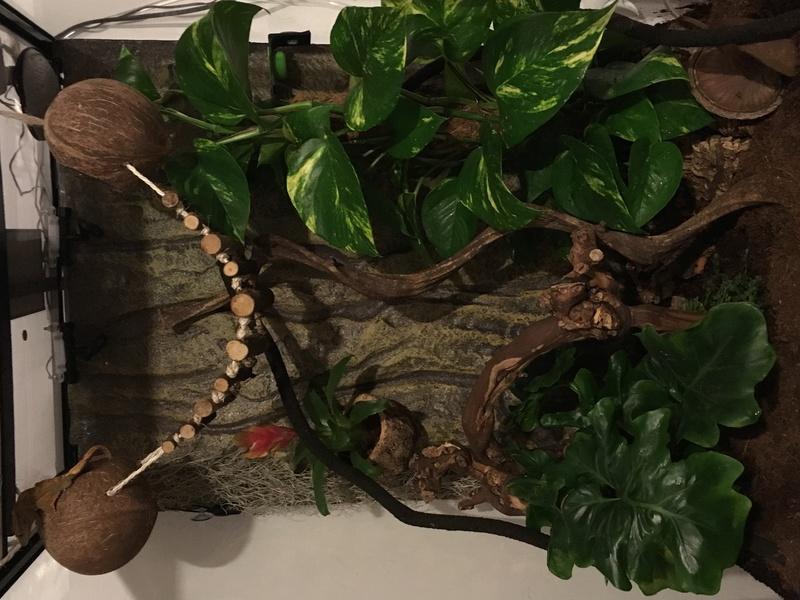 Presentation de Biscotte, notre petit gecko à crête 54871f10