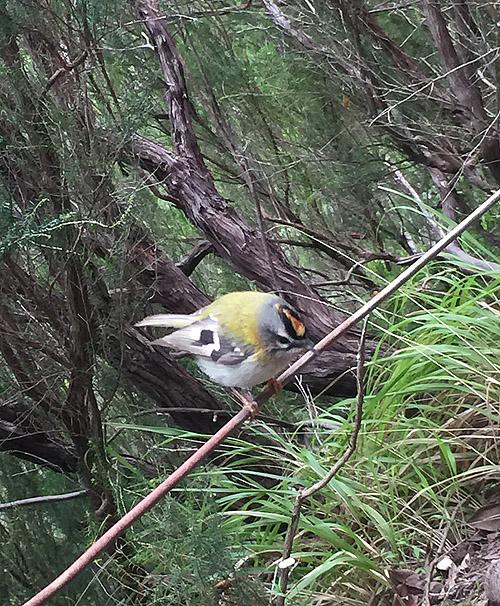 Madère - 10-17 mai 2018 Oiseau11