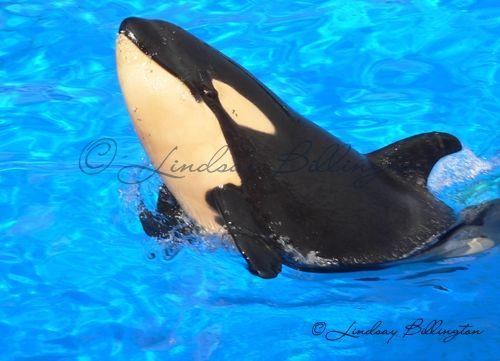 [Photos] Les orques captives quand elles étaient bébé - Page 4 Kalia_10