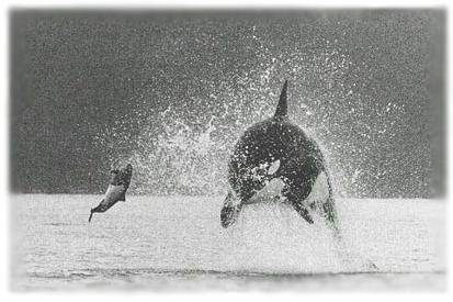 Photos d'orque et leurs proies Orca-c10