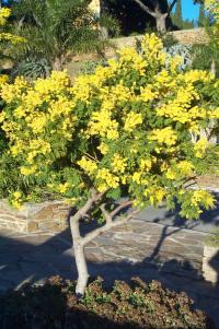 Le plus bel arbre du jardin Mimosa10