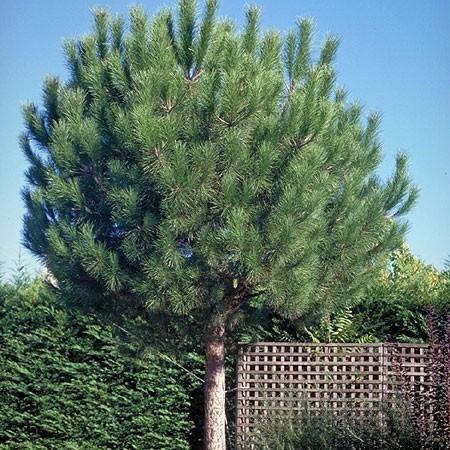 Le plus bel arbre du jardin Pinus-10