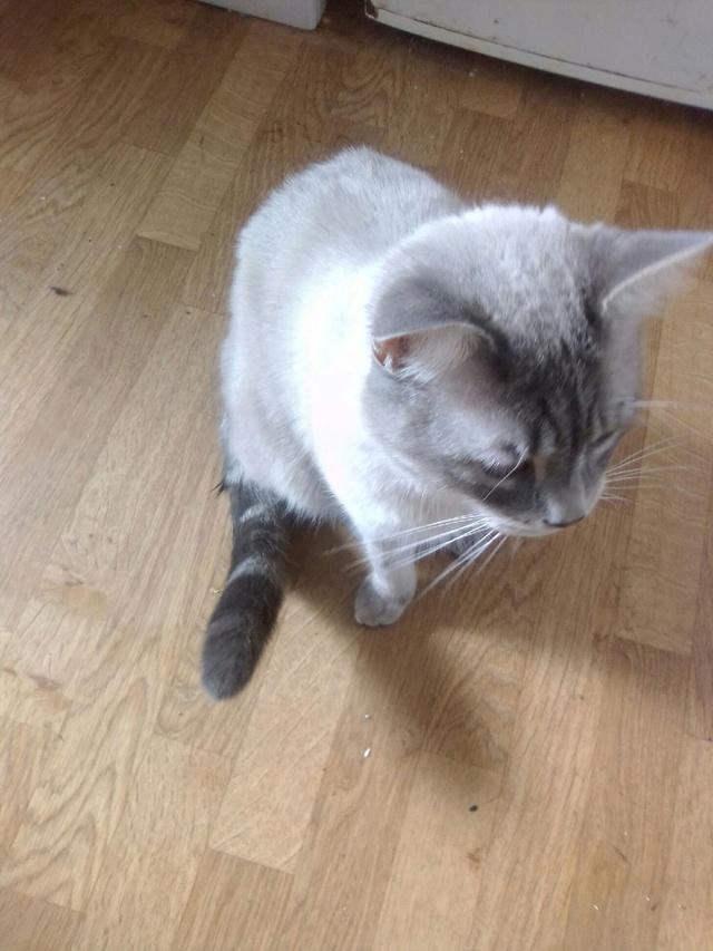 """Perdu chat """"gris et tigré""""  à Colomiers Image011"""