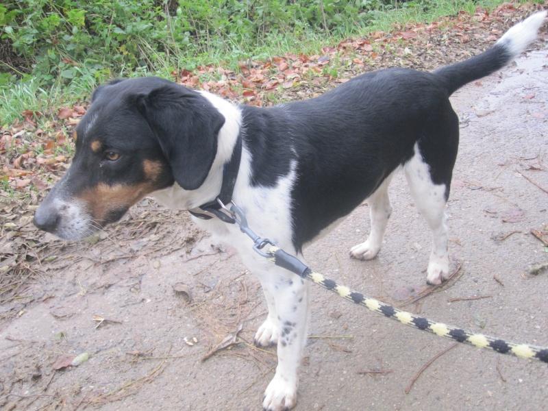 BENJI, croisé beagle mâle, 7 ans 1/2 (54) Benji_16
