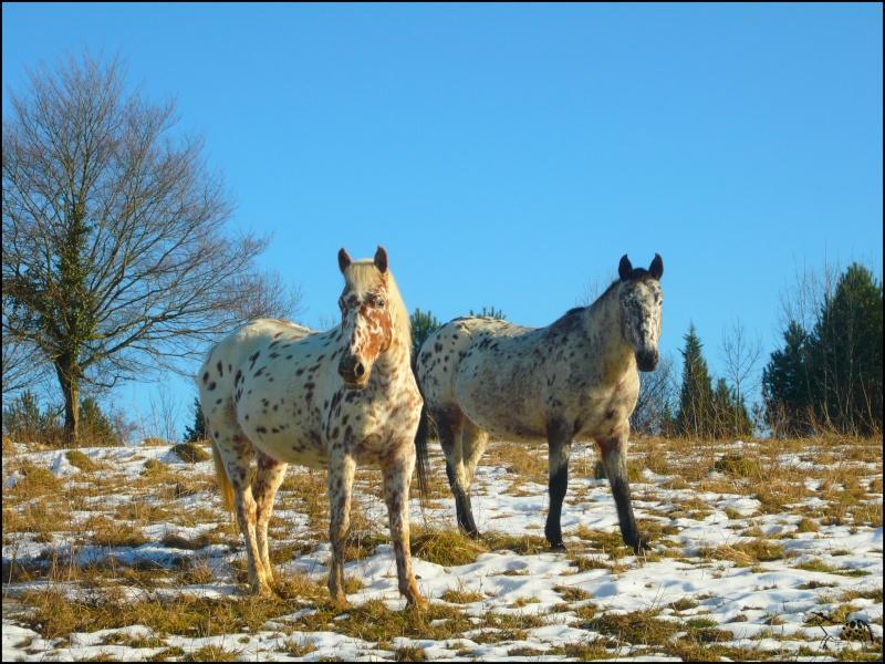 Appaloosa des neiges...Nouvelles photos ! Bellad10