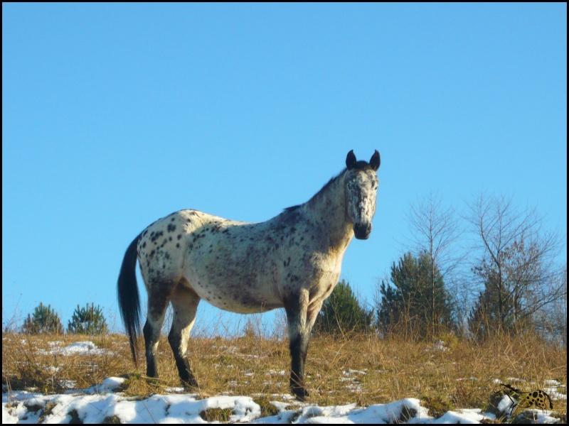 Appaloosa des neiges...Nouvelles photos ! Bellae10