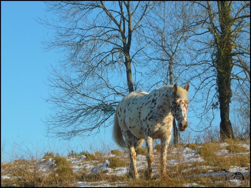 Appaloosa des neiges...Nouvelles photos ! Bellan12
