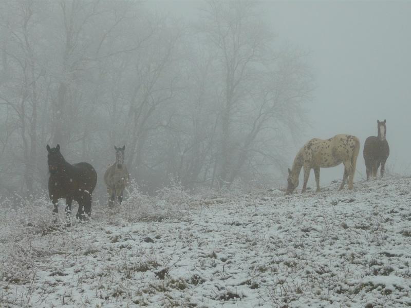 Le troupeau dans la brume... Brume210