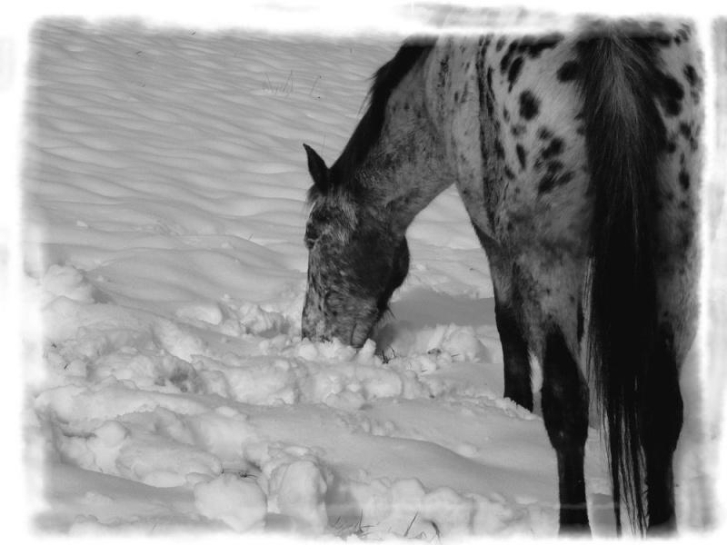 Appaloosa des neiges...Nouvelles photos ! Miamne10