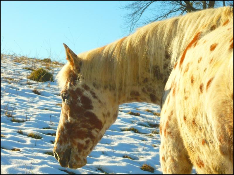 Appaloosa des neiges...Nouvelles photos ! Napalo11