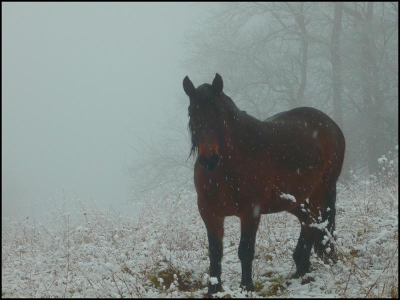 Le troupeau dans la brume... Prince10