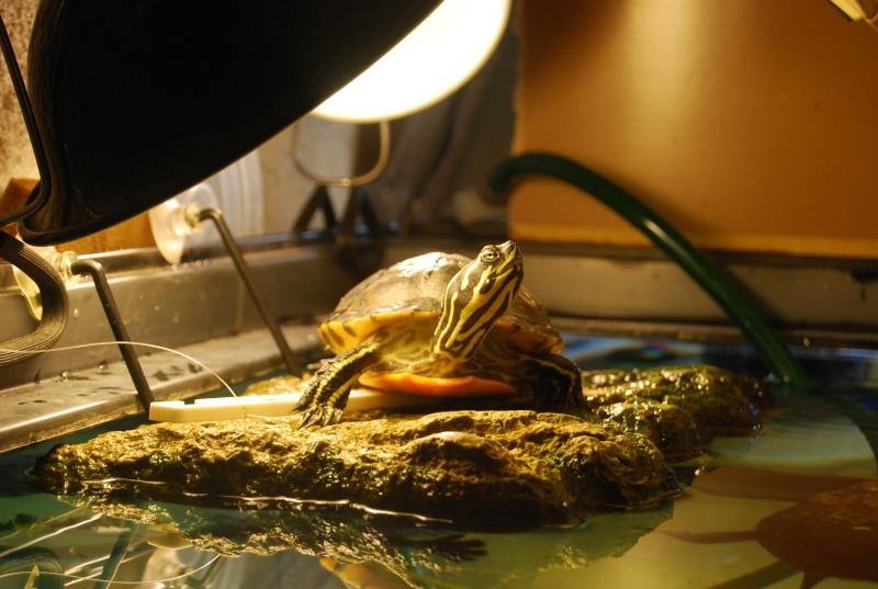 mes tortues!!! (djo) Dsc_0112