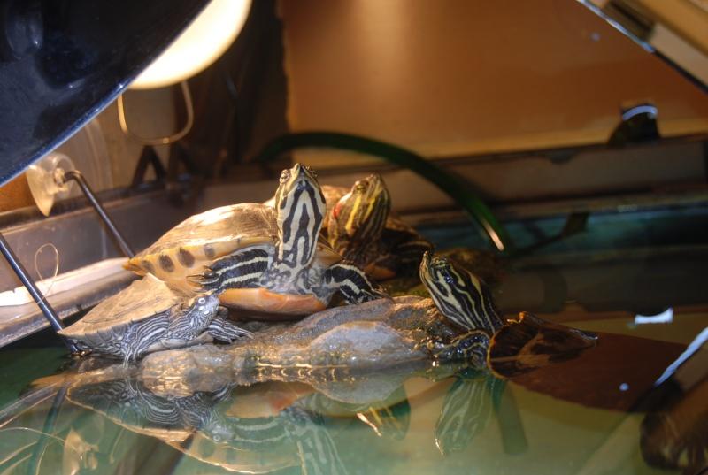 mes tortues!!! (djo) Dsc_0116