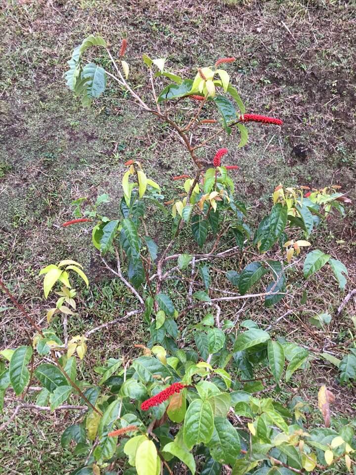 Plante originaire  de Martinique ?????? peut être  [Combretum fruticosum] 29389110