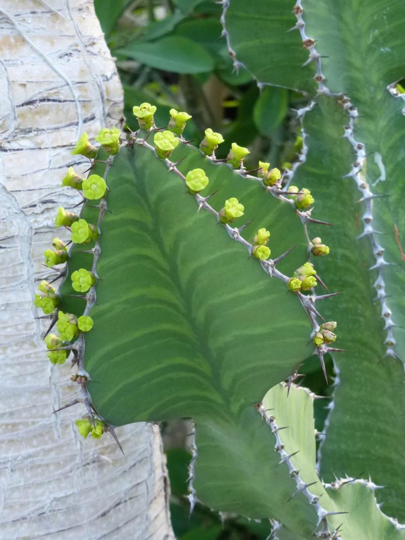 Euphorbia grandialata P1260220
