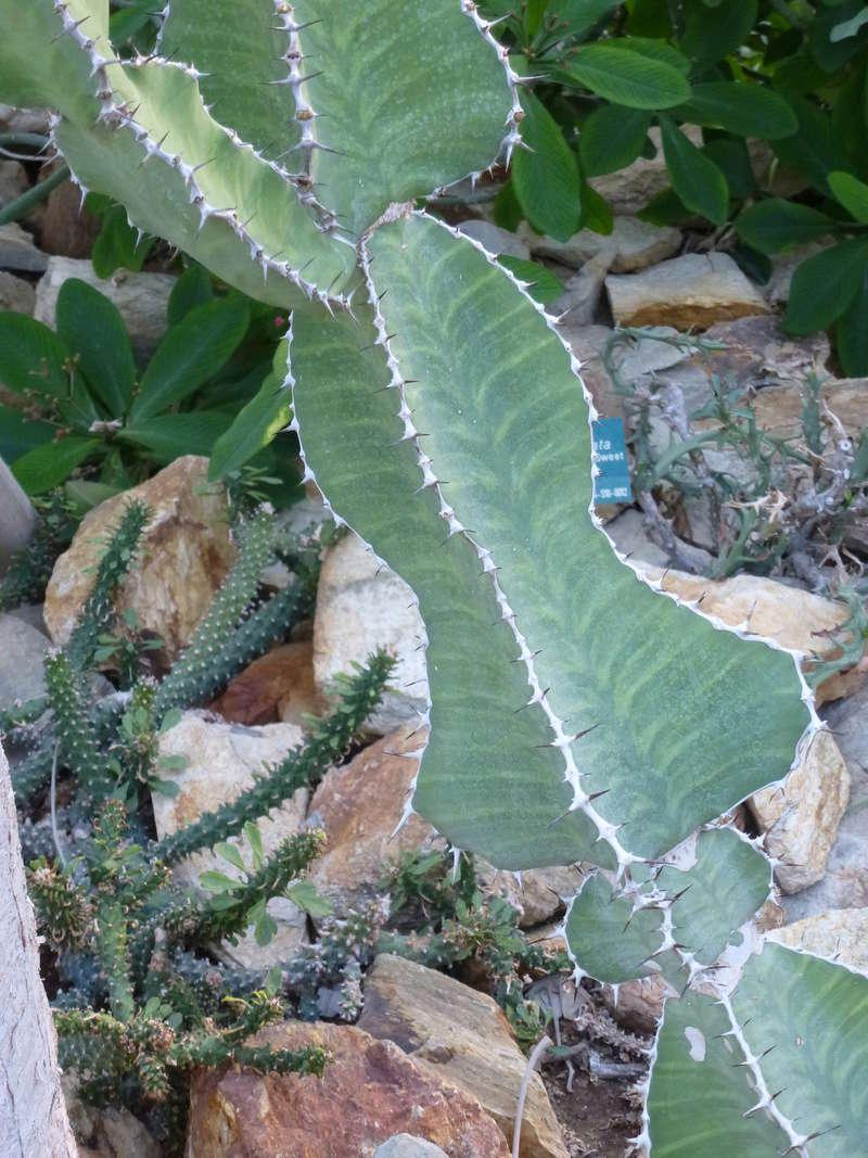 Euphorbia grandialata P1260221