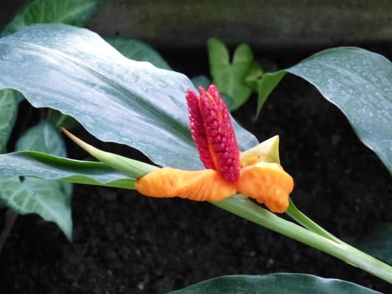Hedychium horsfieldii P1260230