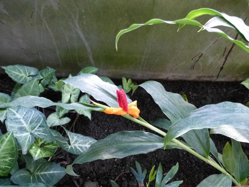 Hedychium horsfieldii P1260231