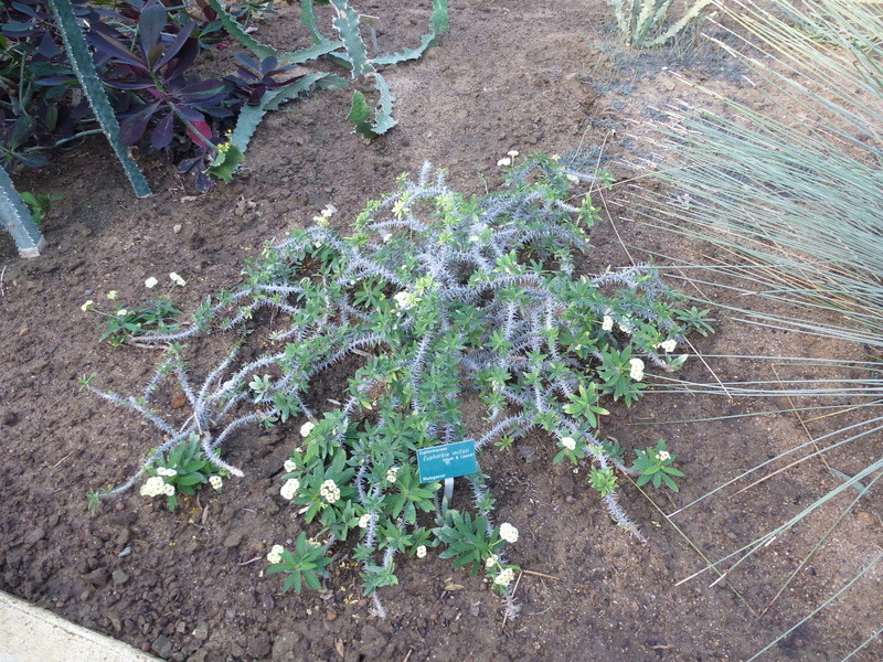 Euphorbia millotii P1260316