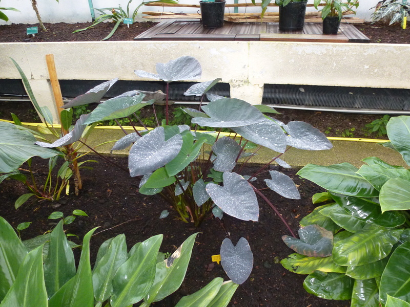 "2 Araceae pleines de "" perles "" : Steudnenera kerii et Alocasia  esculenta Black Magic  P1260524"
