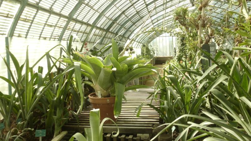 Aechmea penduliflora  P1270139