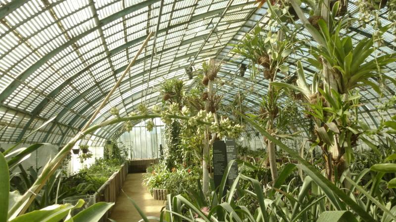 Aechmea penduliflora  P1270140
