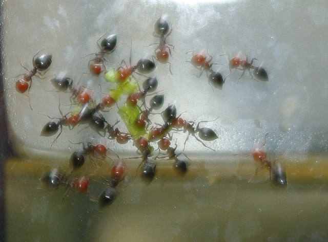 Camponotus lateralis..? B_gupp36