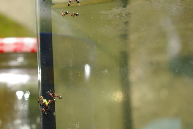 Camponotus lateralis..? B_gupp37