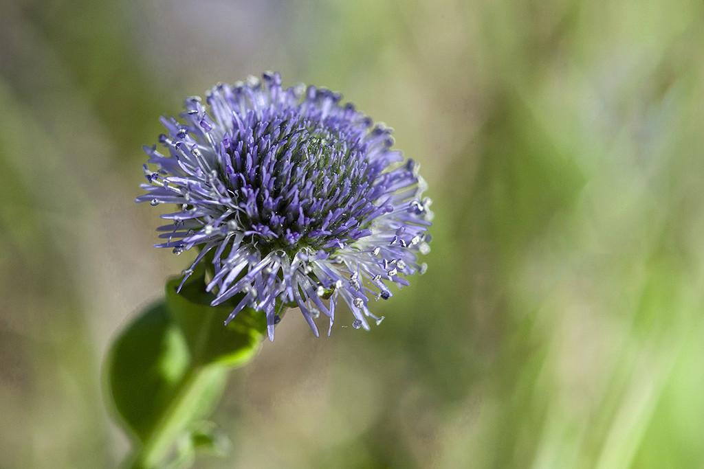 Soyons fleur bleue  Img_4619