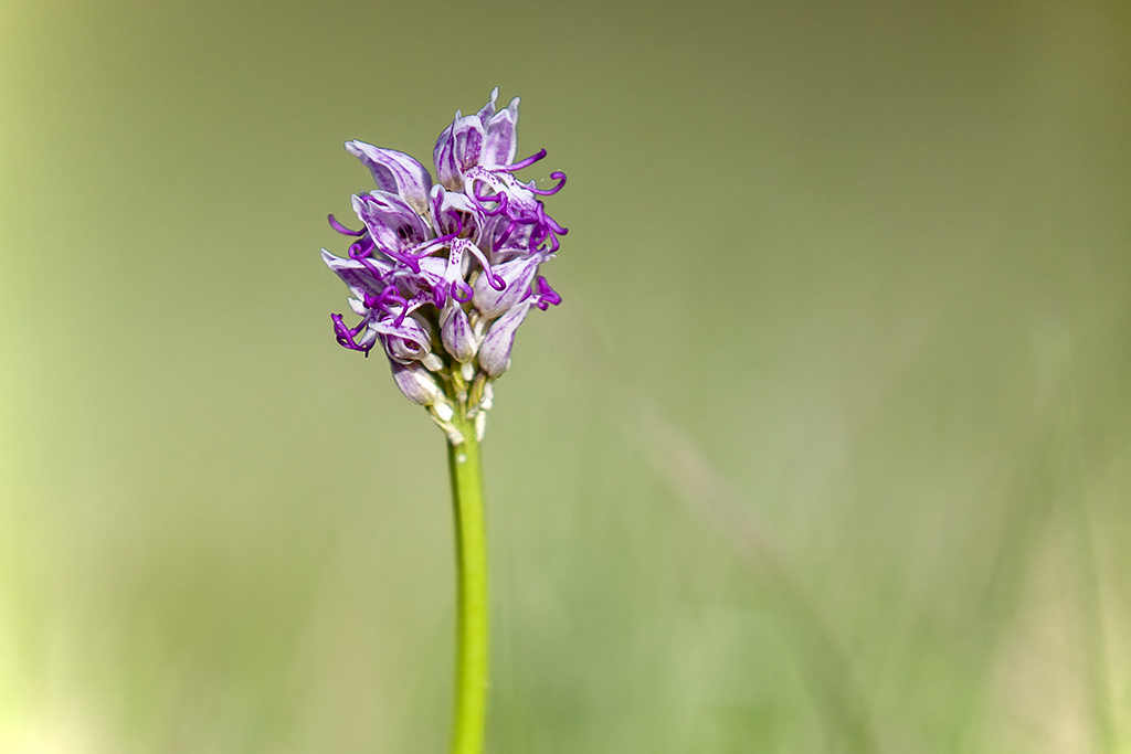 Orchis singe ... Img_4620