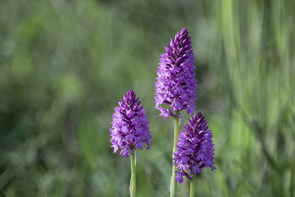 Orchis ...... Img_5110
