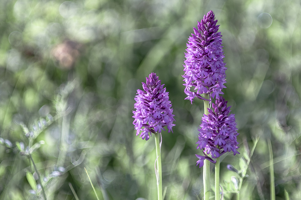 Orchis ...... Img_5111