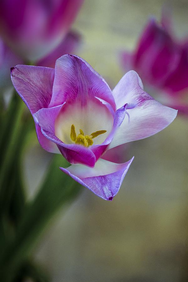 Fin d'une tulipe ... Tulipe10