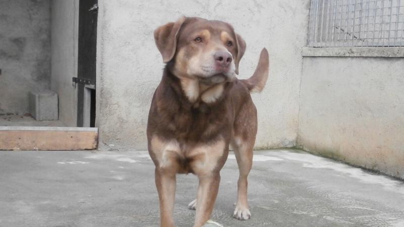 ZUMA (mâle croisé labrador) P1137015